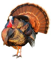 red turkey