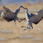 happy-sandhill-cranes