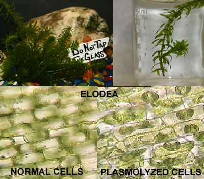 Plasmolysis of Elodea