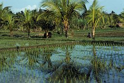 Tropical foilage and rice field