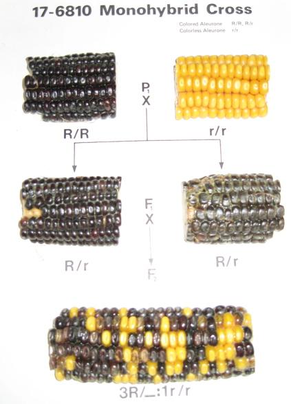 corn genetics chi square analysis lab report