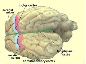 the sheep brain a basic guide