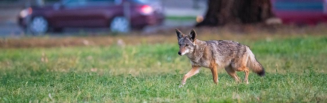 A wild coyote in an urban park.
